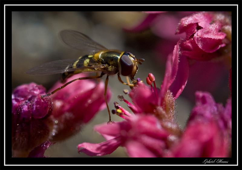 Hoverfly tightrope